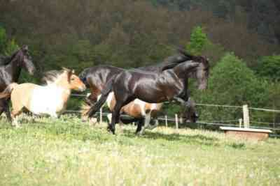 The suit of Kladrub horses