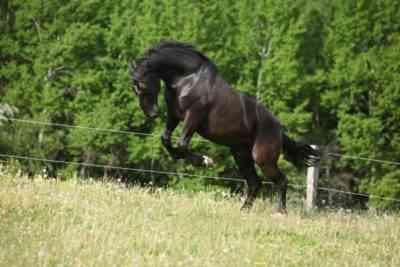 Description of the horses of the Kladrub breed