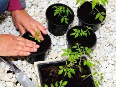 Двухмесячные растения можно высаживать на участок