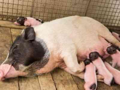 Выращивание супоросной свиньи