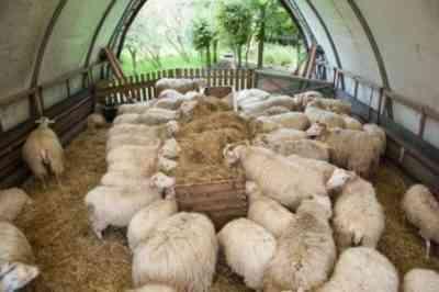 Sheep Basics