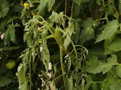 Увядающие растения ещё можно спасти