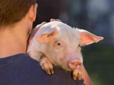 Уход за крупными свиньями
