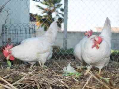 Курица породы Леггорн
