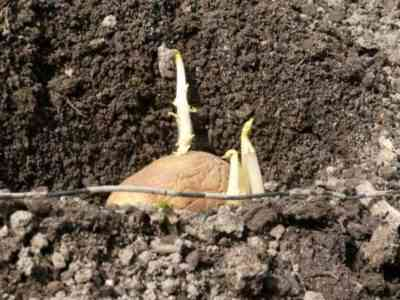 Картофель садят в прогретый грунт