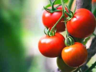 Описание томатов сорта Линда
