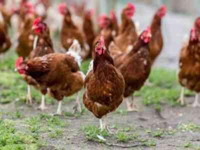Курица породы Ломан Браун