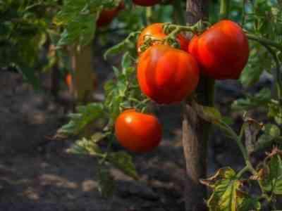 Описание томатов сорта Мишка Косолапый