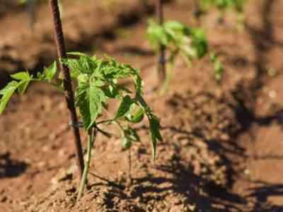 Польза нитроаммофоски для помидоров