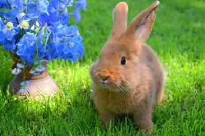 New Zealand Red Rabbit