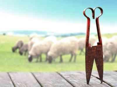 Двойные ножницы для стрижки овец