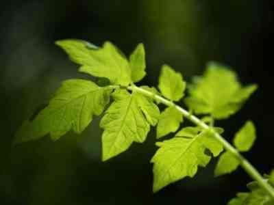 Обрезка листьев у помидоров
