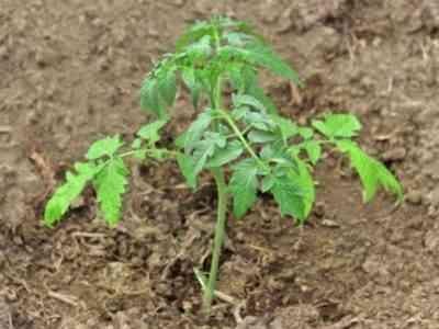 Растение необходимо регулярно поливать