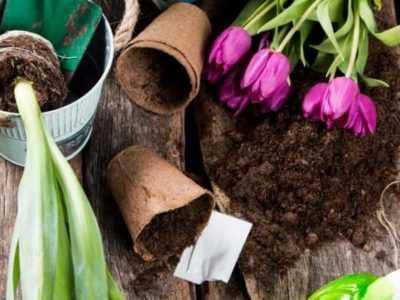 Пересаживать тюльпаны можно осенью