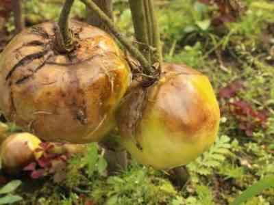 При недостаточности кальция плоды могут почернеть