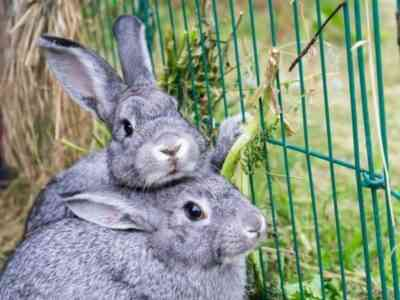 The maternal instinct is supplanted by the rabbit's sexual desire