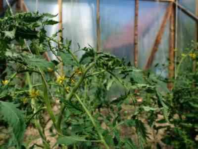 Отсутствие завязей на помидорах