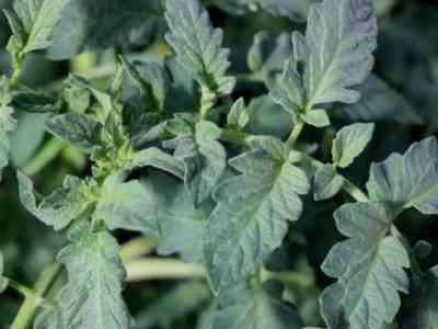 Здоровье растений зависит от вложности воздуха