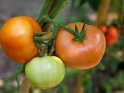 Характеристика сорта томатов Подарок женщине