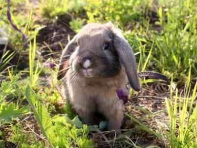 Dutch fold rabbit