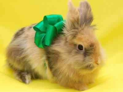 Fox dwarf rabbit