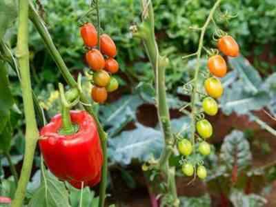 В теплице важно разместить растения правильно
