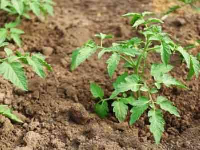 Сорт растения будет влиять на формирование
