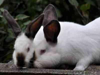 Correct rabbit mixing
