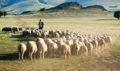 Organization of sheep walking