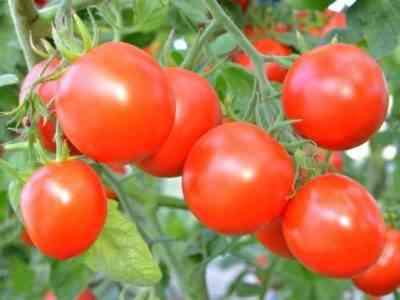 Плоды данного сорта универсальны в использовании