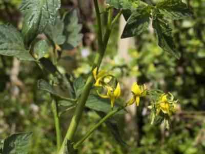 Обильный полив требуется до появления третей кисти цветов