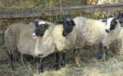 Romanovskaya breed of sheep