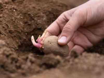 Старайтесь не сломать ростки при посадке