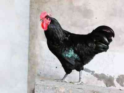 Курица породы Джерсийский Гигант