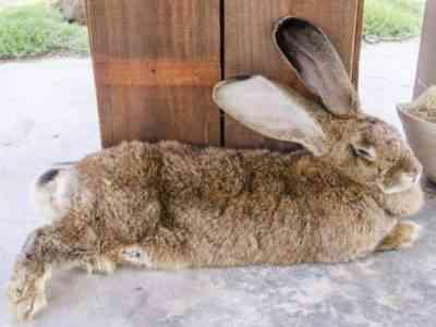 Giant rabbit named darius