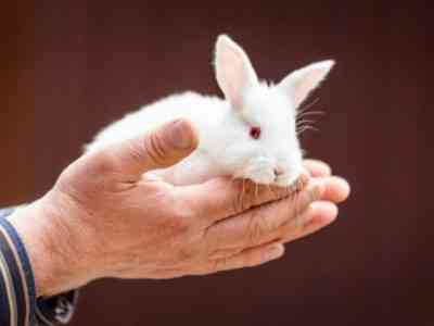 Idah rabbit