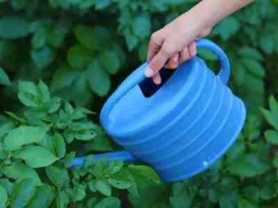 Растение нужно регулярно поливать