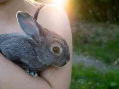 How to Care for a Chinchilla Rabbit