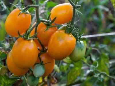 Сорта томатов Сливка