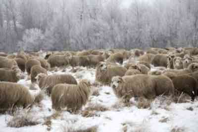 Sheep content in winter