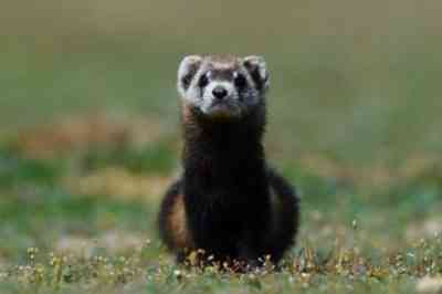 Steppe ferret in the wild