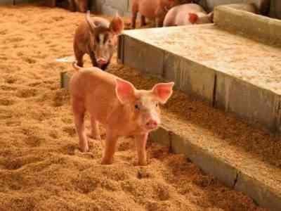 Требования к сараю для свиней
