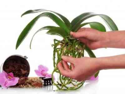 Правила пересадки детки орхидеи