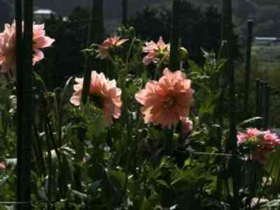 Для посадки на следующий год выбирайте здоровые растения