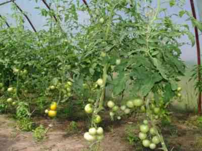 Выращивание томатов в теплице