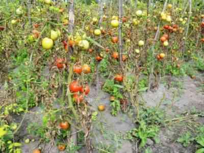 Вирус Табачной Мозаики на томатах