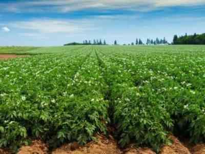 Картофель является засухоустойчивым растением