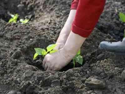 Высаживают рассаду в середине июня