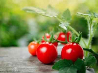 Существует несколько разновидностей Яблочного сорта