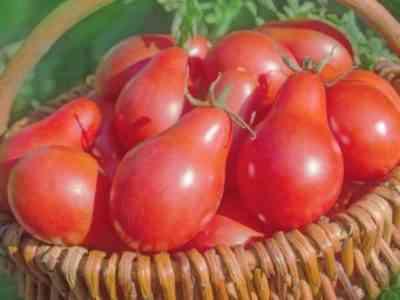 Плоды данного сорта могут менять свой цвет